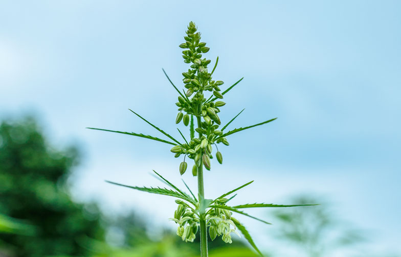 hennepplant-zaden